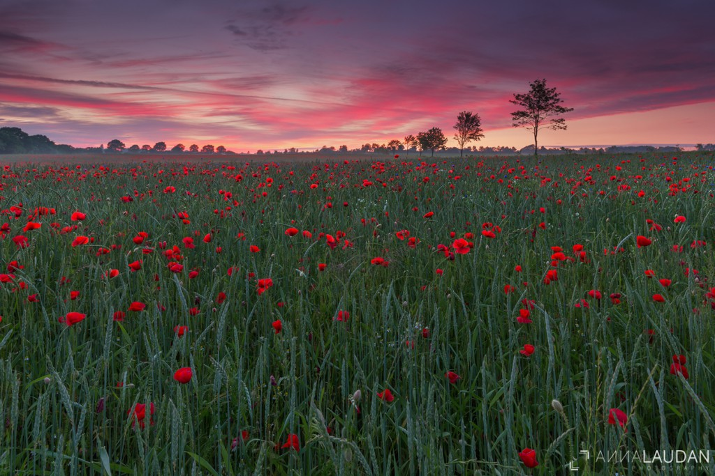 Colorful sunset over a field of poppies