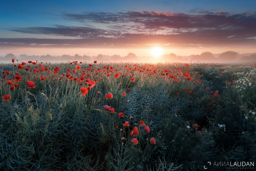 Foggy sunrise over a field of poppies