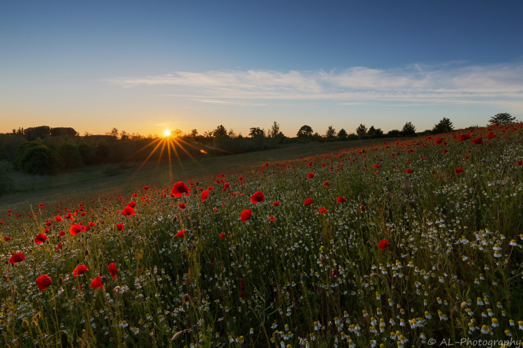 Sunset over field of poppies
