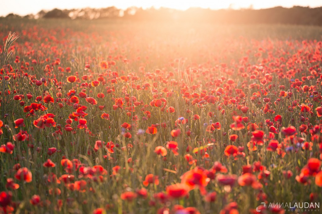 Poppies in golden light II