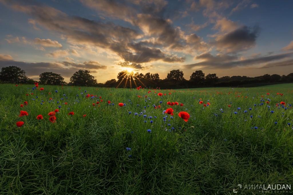 Sonnenuntergang über Mohnblumen