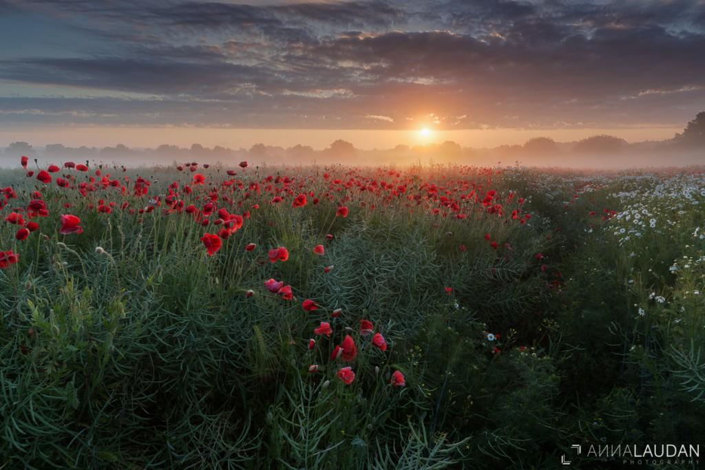 Dramtischer Sonnenaufgang über einem Mohnfeld