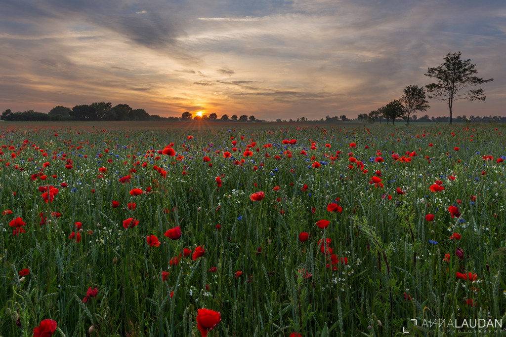 Field of poppies with cornflowers
