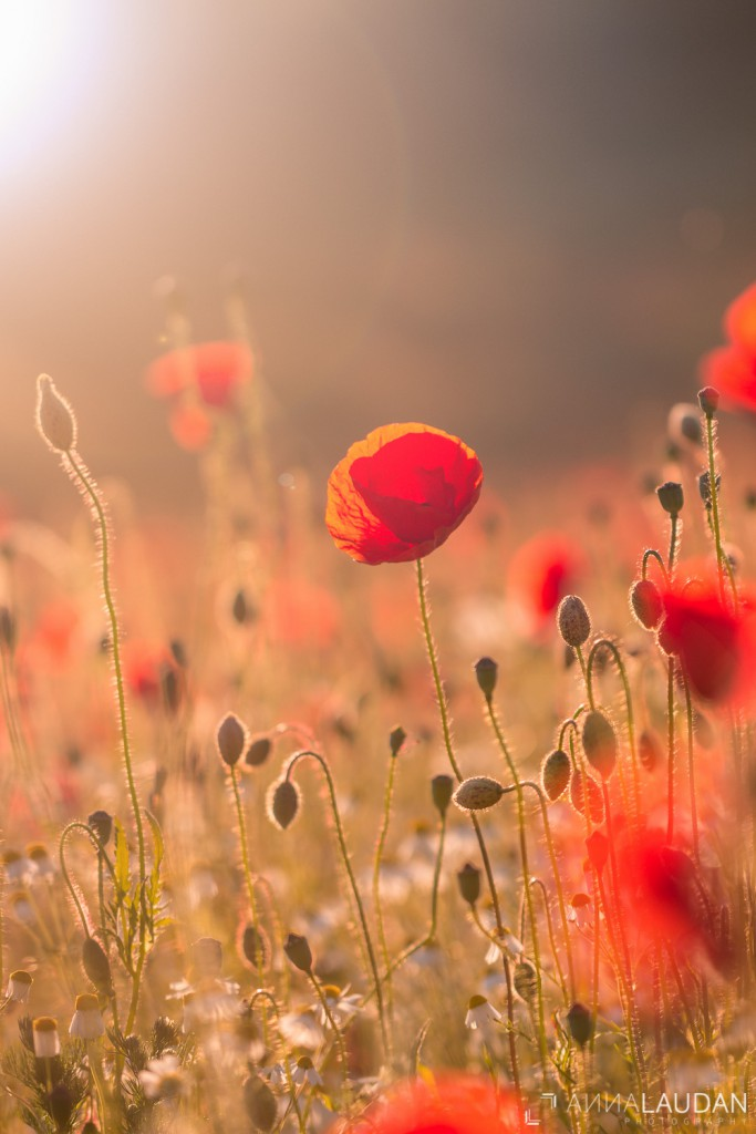 Poppies in sunset light