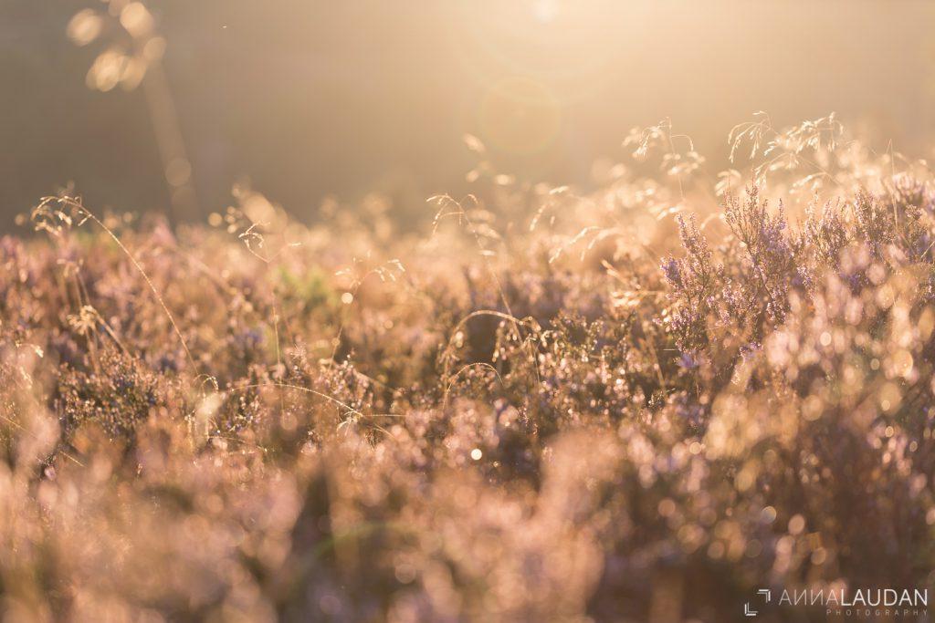Heidekraut in goldenem Morgenlicht Totengrund, Lüneburger Heide